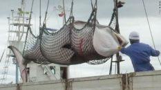 151201113945-japan-minke-whale-whaling-exlarge-169